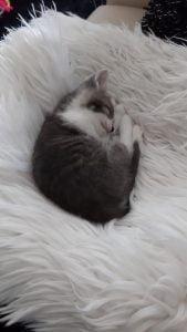 herplaatsing-beau-kitten-kattenherplaatsing-kat-adoptie (2)