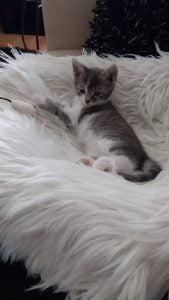herplaatsing-beau-kitten-kattenherplaatsing-kat-adoptie