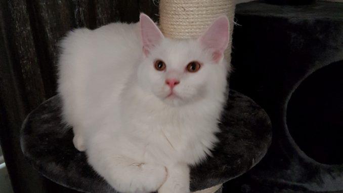 herplaatsing-maine-coon-tommy-kattenherplaatsing