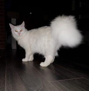 herplaatsing-maine-coon-tommy-kattenherplaatsing-oss