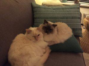 herplaatsing-raskatten-ragdoll-kattenherplaatsing-sam-guus (6)