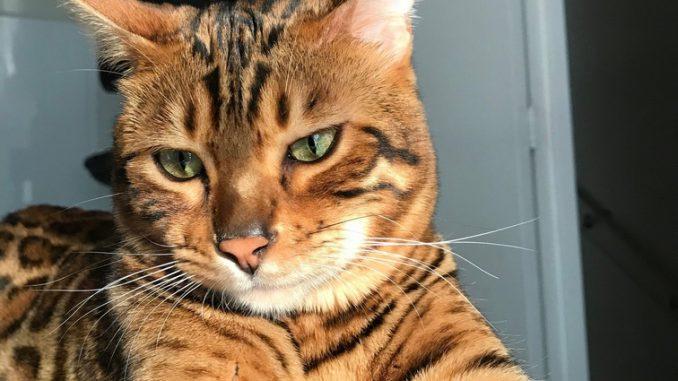 tyga-bengaal-herplaatsing-raskat-kattenherplaatsing (4)