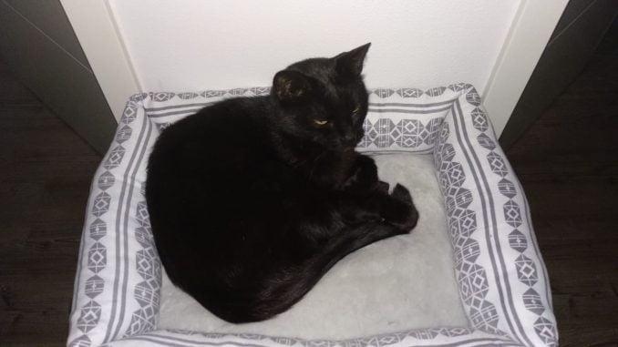 bob-zwarte-panter-elst-kat-kattenherplaatsing