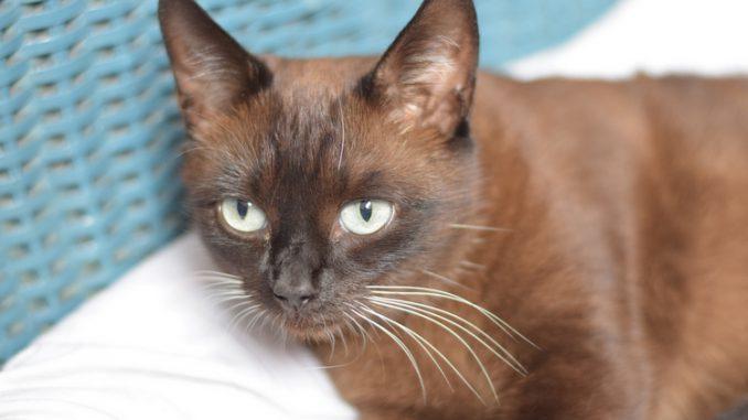 toffee-kruising-burmees-kattenherplaatsing-raskat