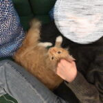rouge-nieuwe-thuis-kattenherplaatsing-maine-coon