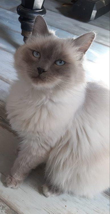 luna-herplaatsing-kruising-raskat-kattenherplaatsing