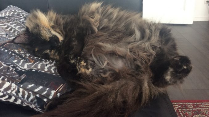 raskattenherplaatsing-frodo-noorse-boskat-castricum-kattenherplaatsing
