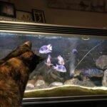 vissentv-catflix-sheba-aquarium-kijken-kattenvoorlichting