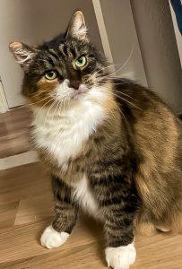 lilly-herplaatsing-kruising-langhaar-ijmuiden-kattenherplaatsing (2)