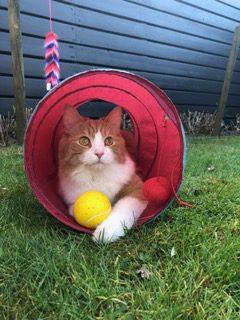 phoenix-turkse-angora-tuin-nieuwe-thuis-kattenherplaatsing