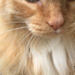 bugsy-gezicht-snoet-kat-ogen-neus-kin-snorharen-kattenvoorlichting
