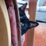 cleo-nieuwe-thuis-kattenherplaatsing (1)