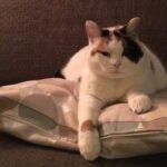 juul-rotterdam-kattenherplaatsing-adoptiekat-heerlijke-senior