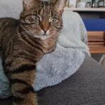 syl-kattenherplaatsing-cyperse-kat-beilen