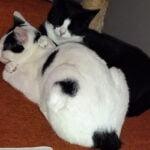 breg-sjoerd-kater-bennekom-kattenherplaatsing