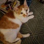 dikkie-dik-kater-nieuwerkerk-ijssel-kattenherplaatsing