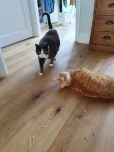 macho-dribbeltje-den-haag-kattenherplaatsing