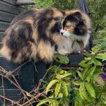 semmy-kattenherplaatsing-langhaar