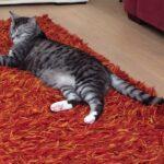 herplaatsing-kater-tom-zilver-zwarte-kattenherplaatsing (1)