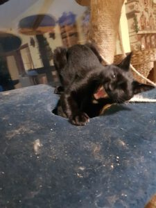 blackie-stichting-knarrekat-kattenherplaatsing