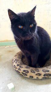 poekie-senior-17-jaar-stichting-knarrekat-kattenherplaatsing-kater