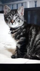 kitten-koekiemonster-beerzerveld-kittenherplaatsing-kattenherplaatsing