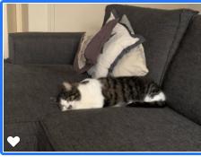 kattenherplaatsing-spot-poes-schiedam (1)