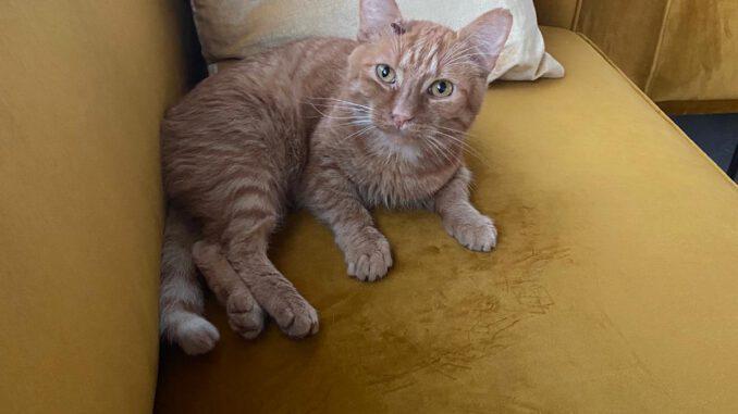 tommie-jonge-rode-kater-kattenherplaatsing-rotterdam