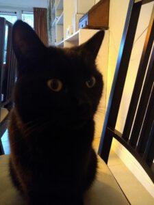 zwarte-kater-gizmo-arnhem-kattenherplaatsing
