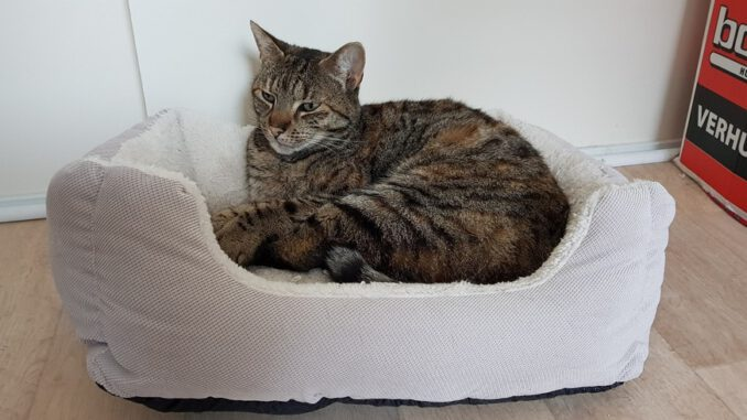 cyperse-luna-opvang-cuijk-kattenherplaatsing