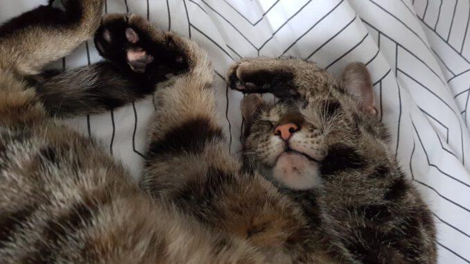 cyperse-kat-luna-opvang-cuijk-kattenherplaatsing