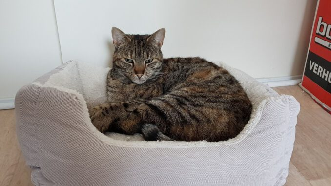 cyperse-luna-opvang-cuijk-kattenherplaatsing-kruising-raskat