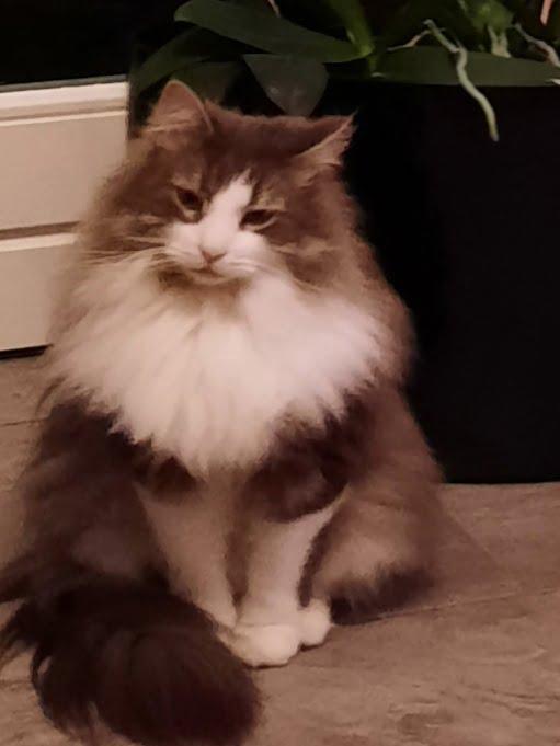 misha-siberische-kat-uit-herkenbosch-zoekt-een-thuis