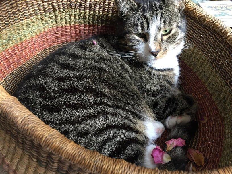 tibbe-kattenherplaatsing-gorinchem (1)