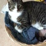 tibbe-kattenherplaatsing-gorinchem (3)